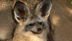 bat-eared fox - Google Search