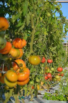 Friendly Aquaponics, The worlds most sustainable food production system.