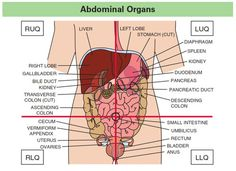 The organs and illnesses associated with each abdominal quadrant abdominal quadrants and organs ccuart Images