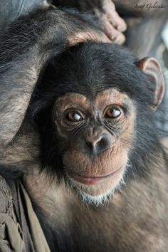 Chimpanzee Baby by Josef Gelernter on 500px