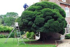 niwaki yew tree - Google Search