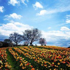 昨夜の雨がウソみたいないいお天気 #花 #花部 #flower #nature #pretty #park #beautiful #空 #sky  #cloud #雲 #lookup by rikamay