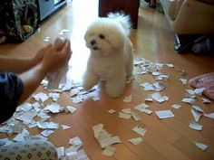 This bichon loves to play in scraps of paper