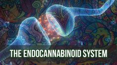 The Endocannabinoid System: Learn more about the ECS and how it interacts with CBD and THC. Cannabis Plant, Peripheral Nervous System, Endocannabinoid System, Whole Food Diet, Pharmacology, Alternative Health, Hemp