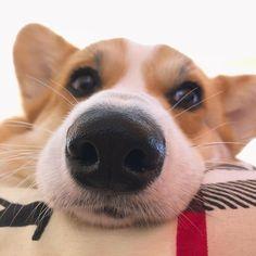 Corgi, Animals, Pet Dogs, Corgis, Animales, Animaux, Animal, Animais