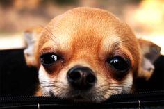 Le dieci razze di cani che combinano molti guai