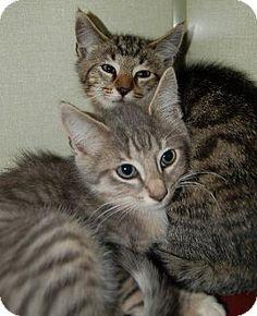 Waynesville, NC - Domestic Shorthair. Meet Winston, Churchill, a kitten for adoption. http://www.adoptapet.com/pet/11561978-waynesville-north-carolina-kitten