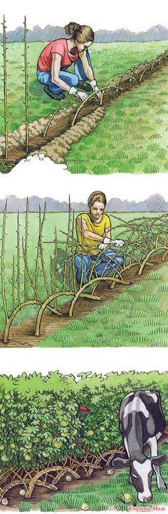 Может быть кому пригодятся такие идейки.  это как изгородь, смотрится конечно шикарно:  а вот так предлагают сажать розы, я правда не спец, но посмотрите, а может и правда?