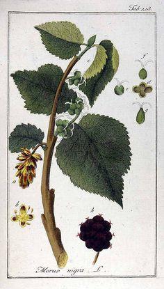 www.plantillustrations.org