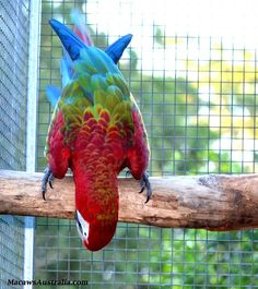 Ara ali verdi - Red-and-green Macaw - Ara chloroptera