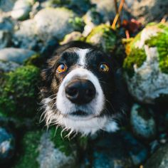 findmomo: Can look at this face every day. #bordercollie
