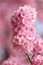 日本桜、小枝、ピンクの花 iPhoneの壁紙