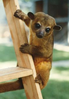 Awesome pet. Kinkajous (Potos flavus) are nocturnal mammals native to the lowland rainforests of Central and South America.