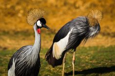 Pair of Grey crowned cranes.  Enjoy my other images of nature in full size by clicking on the thumbnail.  They are also available to buy in a variety for formats or as a digital download without the watermark. #greycrownedcrane #crane #bird