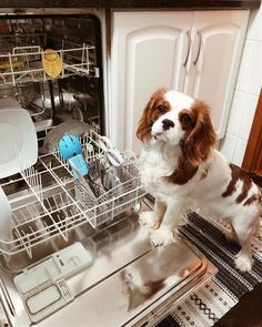 Cleaning dishes ... King Charles Spaniel, Cavalier King Charles, Spaniels, Camilla, Clarity, Stuff To Buy, Animals, Cleaning, Kit