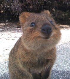 Le quokka est un petit marsupial affichant un sourire de jour comme de nuit