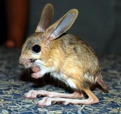 Long-eared Jerboa - a hopping desert animal with long hind legs like a kangaroo, long ears like a rabbit, and a tail longer than its body