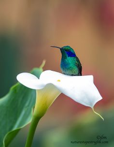 HummingbirdsA Beautiful Resting Place Violet Ear Hummingbird By Judylynn Malloch