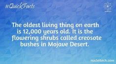 The oldest living thing on earth is 12000 years old. It is the flowering shrub called creosote in the Mojave Desert.