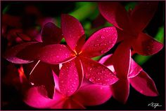 Google Image Result for http://www.hawaiipictures.com/pictures/gallery/flowers/f-08-plumeria-closeup-web-l.jpg