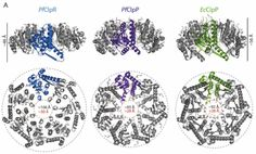 Structural insights into the inactive subunit of the apicoplast-localized caseinolytic protease complex of Plasmodium falciparum Insight, Protein, Personalized Items