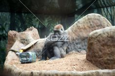 a bored ape - Gorilla with arms folded showing he is bored.