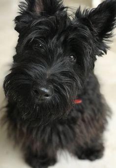 900 Scotties For My Winnie Ideas In 2021 Scottish Terrier Scottie Dog Scottie