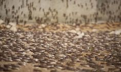 CASAGIOVE. Invasione di blatte, è emergenza: GUARDA I VIDEO a cura di Redazione - http://www.vivicasagiove.it/notizie/casagiove-invasione-blatte-emergenza-guarda-video/