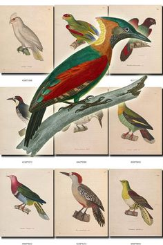 BIRDS-96 Collection of 127 vintage pictures Parrots Woodpecker r, Crested Pigeon, Crimson-Winged Woodpecker, Cuban Green Woodpecker, Cypselus Ambrosiacus, Cypselus Collaris, Cypselus Longipennis, Cypselus Pygargus, Dacelo Buccoides, Dark-Backed Imperial-Pigeon, Dendrocolaptes Procurvus, Dendrocolaptes Sylviellus, Diceum Cantillans, Diceum Chrysorrheum, Diceum Sanguinolentum, Dusky-Throated Hermit, Dwarf Fruit-Dove, Festive Coquette, Flame-Breasted Sunbird, Fr