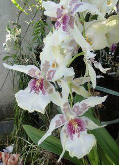 Miltonia orkide