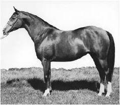arabian horse photo: 8306 Imarfa 8306ImarfaImaraffxMarifa1953baymare.jpg