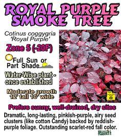Royal Purple Smoke Tree bush