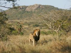 Best safari, trekking and trips in Africa Lion Hd Wallpaper, Wildlife Wallpaper, Wallpaper Gallery, Animal Wallpaper, Safari Animals, Animals And Pets, Wildlife Safari, Wild Animals, Lion Background