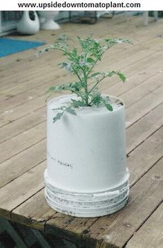 Grow upside down tomato plants using a 5 gallon bucket!