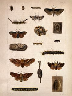 Vintage Science Plate Poster. Insects. Moths. Life Stages- 086