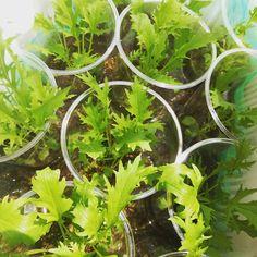 水耕栽培を試してみたいと思いつつも、ユーイングは高くて手が出せない……。そんなときは100円ショップやホームセンターで手軽に用意できる材料で水耕栽培をはじめてみましょう。簡単に育てられる品種や自作DIY方法をチェックです。