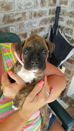 This little guy just melted my heart. So cute! Boxer puppy