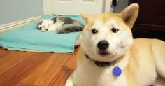 25 helpless #dogs that had their bed stolen by the #cat http://mashable.com/2016/03/16/stolen-dog-beds-cats/