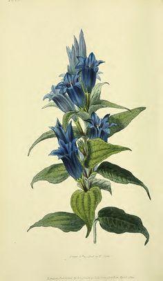 Willow gentian. Gentiana asclepiadea.  (1826) [W. Clark]