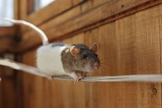 Zyazya by ressaure, clever and cute rat, via Flickr