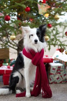 """""""Are all the gifts mine?"""" #dogs #pets #BorderCollies Facebook.com/sodoggonefunny"""