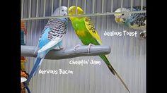 4 Budgies 1 Cage - Take the Inside Tour - Learn Cage Set-up Monk Parakeet, Parakeets, Cage, Tours, Bird, Animals, Animales, Parakeet, Animaux