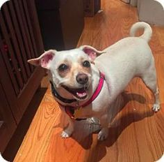 Meet Lulubell the Chill Chiweenie | Lulabell is looking for a loving home in  NY- Foster Dogs
