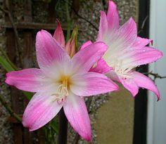 "Amaryllis belladonna - the ""Real"" Amaryllis; aka Naked-Lady-Lily"