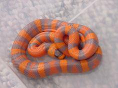 hypo tangerine honduran milk snake