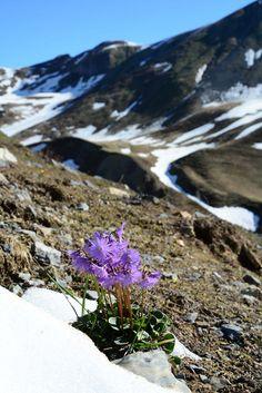 Soldanella montana