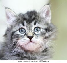 brown puppy of siberian cat, on @Shutterstock
