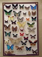 File:A butterfly collection. Paper Butterflies, Beautiful Butterflies, Butterfly Frame, Butterfly Template, Displaying Collections, Best Teacher, School Fun, Diorama, Creations