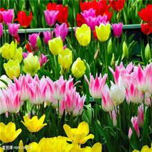 New Arrival 12 Color 1000 mix Odorous tulip Seeds Perennial Flower Seeds for Garden in Bonsai ,buy 2 get 10 Rose Gift(China (Mainland))