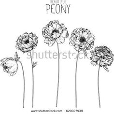 Peony flowers drawing vector illustration and line art